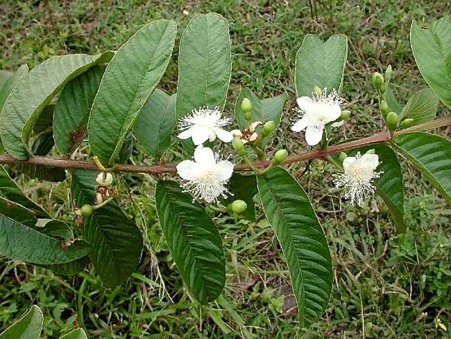 1.シジュウムの木Psidium guajava